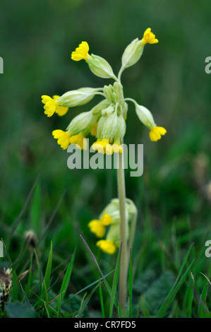 A cowslip in spring, a wild flower UK - Stock Photo