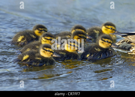 Mallard Anas platyrhynchos Newly Hatched duckling brood - Stock Photo