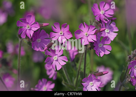 Red Campion Silene dioica Norfolk UK May - Stock Photo