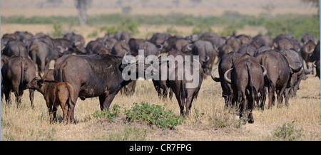 African buffaloes or Cape buffaloes (Syncerus caffer), large herd, Masai Mara National Park, Kenya, East Africa, - Stock Photo