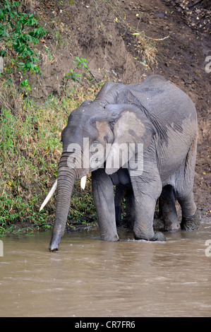 African Bush Elephant (Loxodonta africana), mother with calf while crossing the Mara River, Masai Mara, Kenya, East - Stock Photo