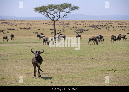 Herd of blue wildebeests (Connochaetes taurinus), Great Migration, Masai Mara National Reserve, Kenya, Africa - Stock Photo