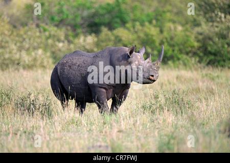 Black rhinoceros (Diceros bicornis), Masai Mara National Reserve, Kenya, Africa - Stock Photo