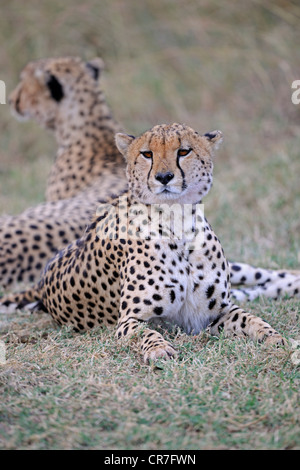 Two cheetahs (Acinonyx jubatus) lying in the shade of a bush, Masai Mara National Reserve, Kenya, East Africa, Africa - Stock Photo