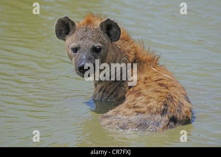 Spotted hyena (Crocuta crocuta), adult sitting in the water, Masai Mara National Reserve, Kenya, Africa - Stock Photo