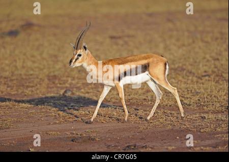 Thomson's Gazelle (Eudorcas thomsoni, formerly Gazella thomsoni), Masai Mara, Kenya, Africa - Stock Photo