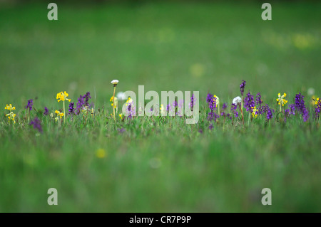 A hay meadow with green-winged orchids and cowslips at Hardington Moor Somerset UK - Stock Photo