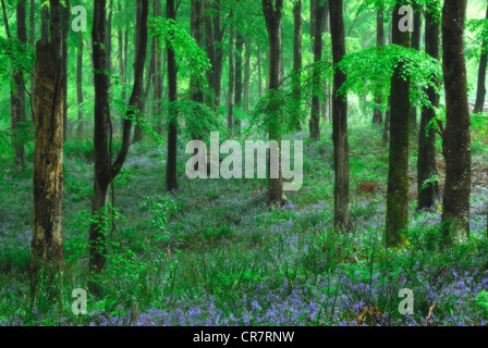 A beautiful bluebell wood in Spring UK - Stock Photo