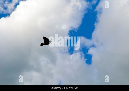 Blackbird in flight against puffy white clouds and a clear blue sky - Stock Photo