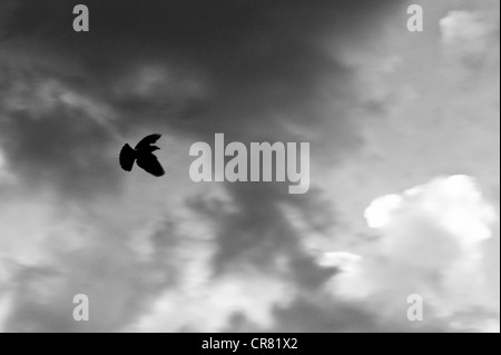 Black and white photograph of a blackbird in flight against puffy white clouds and a clear sky - Stock Photo