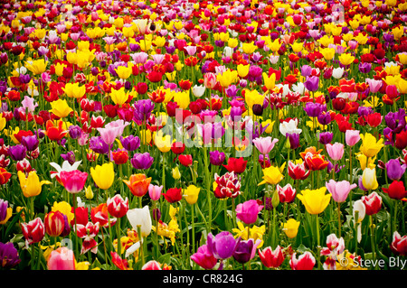 Spring tulip flowers in bloom at the Wooden Shoe Tulip Farm in Woodburn, Oregon - Stock Photo