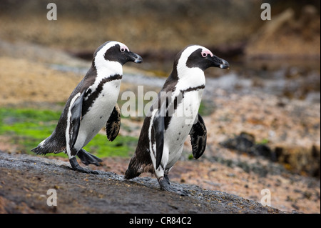 South Africa, Western Cape, Cape peninsula, Simonstown, penguin colony on The Boulders beach - Stock Photo
