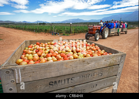 South Africa, Western Cape, Route 62, Garden Route, Robertson, harvesting tomatoes - Stock Photo
