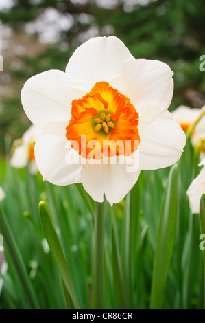 A Narcissus 'Trident', aka small cupped daffodil. - Stock Photo
