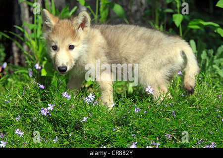 Wolf (Canis lupus), pup, eight weeks, Montana, USA, North America - Stock Photo