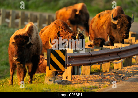American Bison (Bison bison) Grazing herd in early spring, Theodore Roosevelt National Park (South Unit), North - Stock Photo