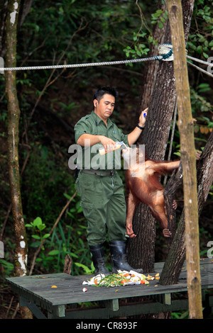 Bornean orangutan (Pongo pygmaeus), young being bottle-fed by a keeper, Sepilok Rehabilitation Centre, Sabah, , - Stock Photo