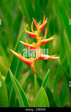 Heliconia (Heliconia psittacorum), flower, Kota Kinabalu, Sabah, Malaysia, Borneo, Southeast Asia - Stock Photo