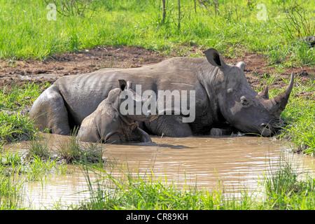White Rhinoceros or Square-lipped rhinoceros (Ceratotherium simum), female and calf in water hole, Sabi Sabi Game - Stock Photo