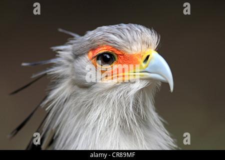 Secretary Bird (Sagittarius serpentarius), adult, portrait, Cape Town, South Africa, Africa - Stock Photo