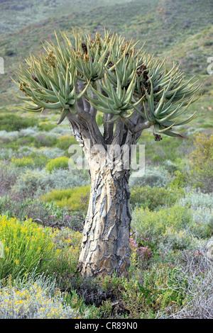 Quiver Tree or Kokerboom (Aloe dichotoma), Karoo Desert Botanical Garden, Worcester, Western Cape, South Africa, - Stock Photo
