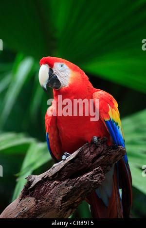 Scarlet Macaw (Ara macao), adult, perched, Roatan, Honduras, Caribbean, Central America, Latin America - Stock Photo