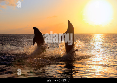 Two Common Bottlenose Dolphins (Tursiops truncatus), adult, leaping at sunset, Roatan, Honduras, Caribbean, Central - Stock Photo
