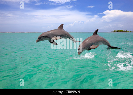 Two Bottlenose Dolphins (Tursiops truncatus), adult, jumping out of the sea, Roatan, Honduras, Caribbean, Central - Stock Photo