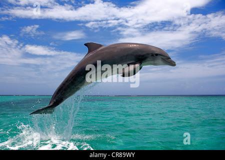 Bottlenose Dolphin (Tursiops truncatus), adult, jumping out of the sea, Roatan, Honduras, Caribbean, Central America - Stock Photo