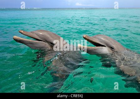 Two Bottlenose Dolphins (Tursiops truncatus), adult, swimming, Roatan, Honduras, Caribbean, Central America, Latin - Stock Photo