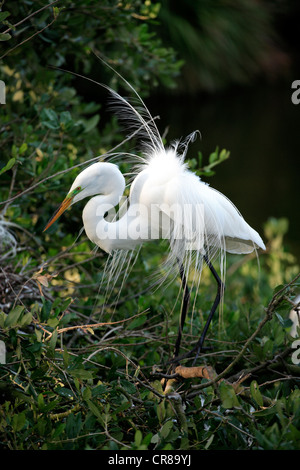 Great Egret (Egretta alba), courtship, breeding plumage, on tree, Florida, USA, America - Stock Photo