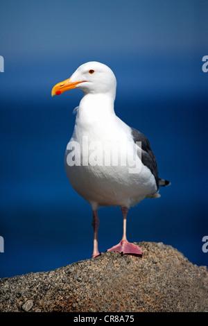 Western Gull (Larus occidentalis), adult, on rock, Monterey, California, USA, America - Stock Photo