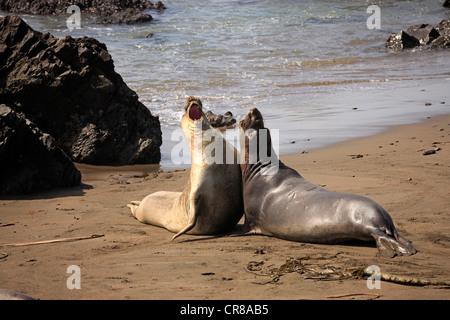 Northern elephant seal (Mirounga angustirostris), young bulls on the beach, Piedra Blancas, California, USA - Stock Photo