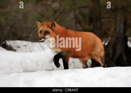 Red fox (Vulpes vulpes), adult, foraging, snow, winter, Montana, USA - Stock Photo