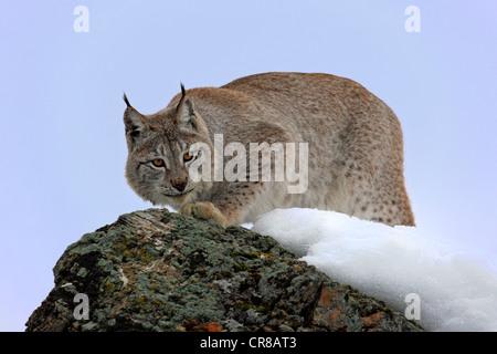 Eurasian lynx (Lynx lynx), adult, snow, winter, Montana, USA - Stock Photo