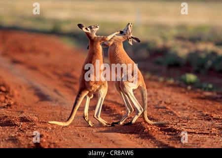 Red Kangaroo (Macropus rufus), male adults fighting, Tibooburra, Sturt National Park, New South Wales, Australia - Stock Photo