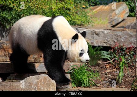Giant Panda (Ailuropoda melanoleuca), adult, Adelaide Zoo, South Austalia, Australia - Stock Photo