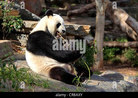 Giant Panda (Ailuropoda melanoleuca), adult eating bamboo, Adelaide Zoo, South Austalia, Australia - Stock Photo