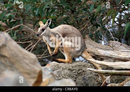Yellow-footed Rock-wallaby (Petrogale xanthopus), South Australia, Australia - Stock Photo