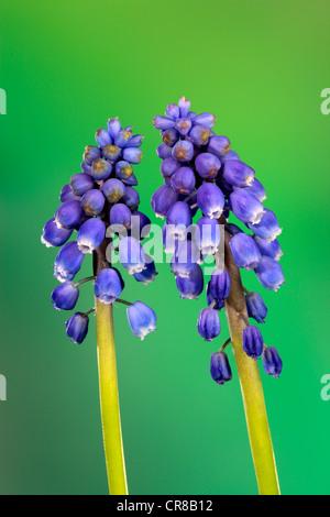 Grape hyacinth (Muscari latifolium), flower - Stock Photo