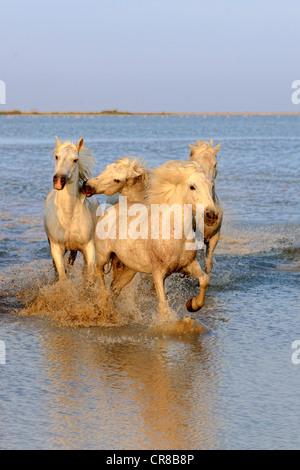Camargue horses (Equus caballus), in water, Saintes-Marie-de-la-Mer, Camargue, France, Europe - Stock Photo