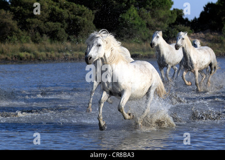 Camargue horses (Equus caballus), herd, gallopping through water, Saintes-Marie-de-la-Mer, Camargue, France, Europe - Stock Photo