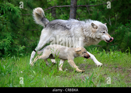 Wolf (Canis lupus), mother and cub running side by side, Minnesota, USA, North America - Stock Photo
