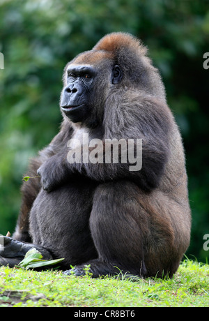 Western Lowland Gorilla (Gorilla gorilla), adult, female, captive, Florida, USA, North America - Stock Photo