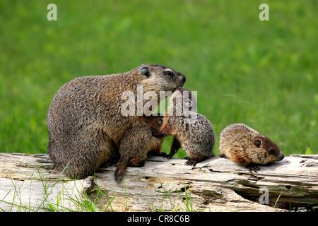 Woodchuck marmota monax groundhog stock photo royalty for Woodchuck usa