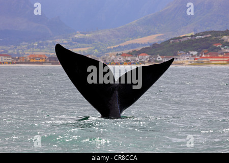 Fluke, Southern Right Whale (Balaena glacialis), adult, Simon's Town, South Africa, Africa - Stock Photo