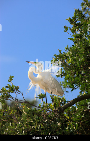 Great Egret (Egretta alba), adult, displaying, in breeding plumage, perched on tree, Florida, USA - Stock Photo