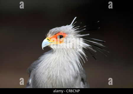 Secretarybird or Secretary Bird (Sagittarius serpentarius), adult, portrait, Cape Town, South Africa, Africa - Stock Photo