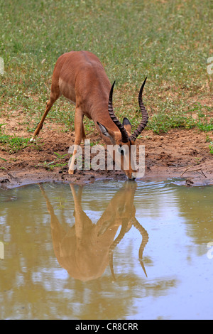 Impala (Aepyceros melampus), adult, male, water, drinking, Sabi Sabi Game Reserve, Kruger National Park, South Africa - Stock Photo