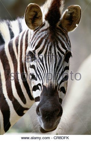 Burchell's zebra, Africa - Stock Photo